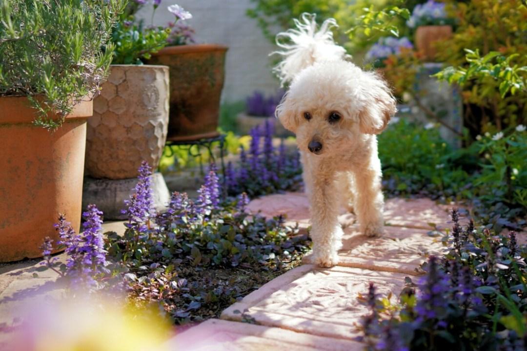 white poodle purple flowers