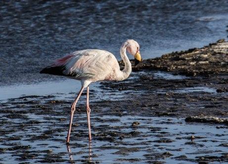 A James flamingo at Salar de Atacama