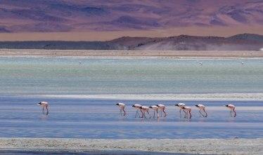 Andean flamingo's Laguna Salar el laco