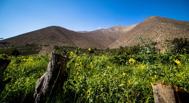 Elqui valley sunflowers