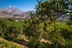 Mosquito protection (oranges) for the vines