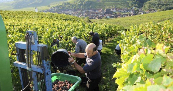 Alsace Wine Tour Grape picking © Dumoulin CIVA