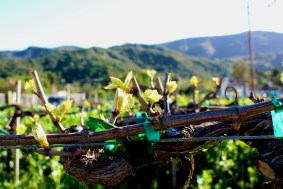 We were lucky enough to catch the vines budding! It's that time of year!