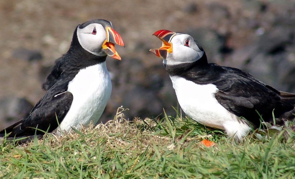 Iceland's Puffin, Although Threatened, Still Appears On Menus