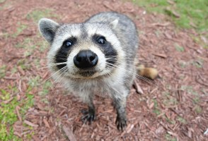 Rare Icelandic Raccoon Killed By Dog