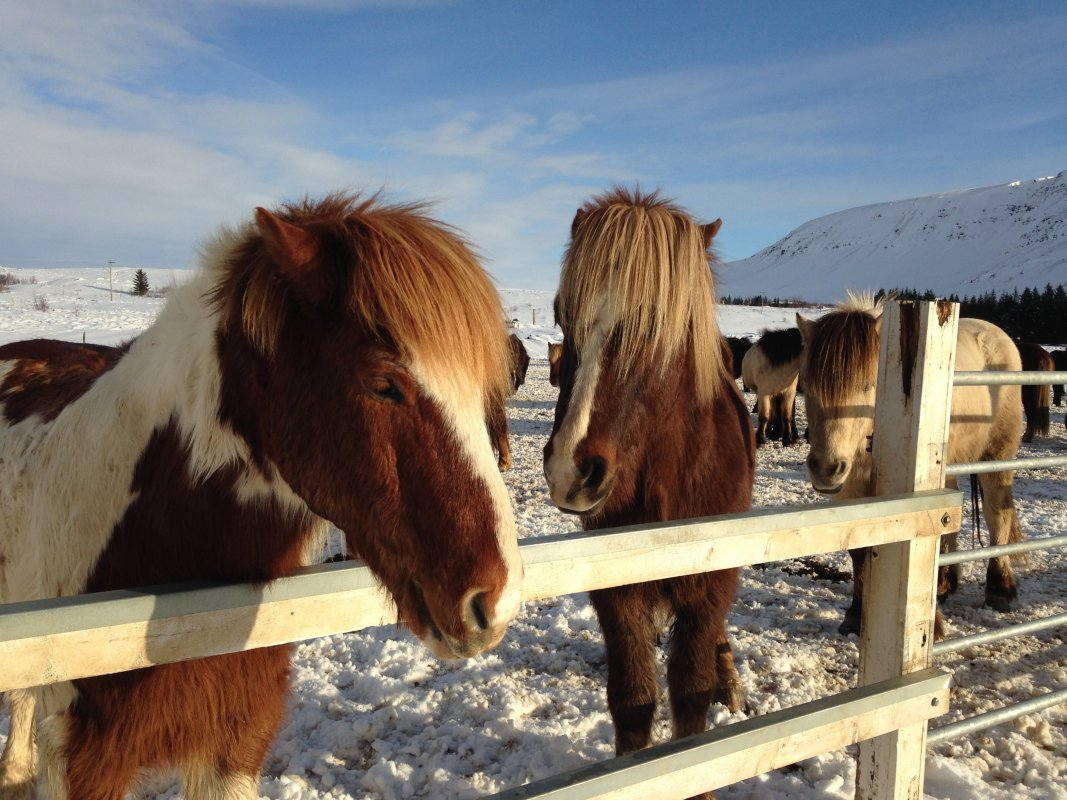 Over Hill And Underwater: A Day With Icelandic Horses