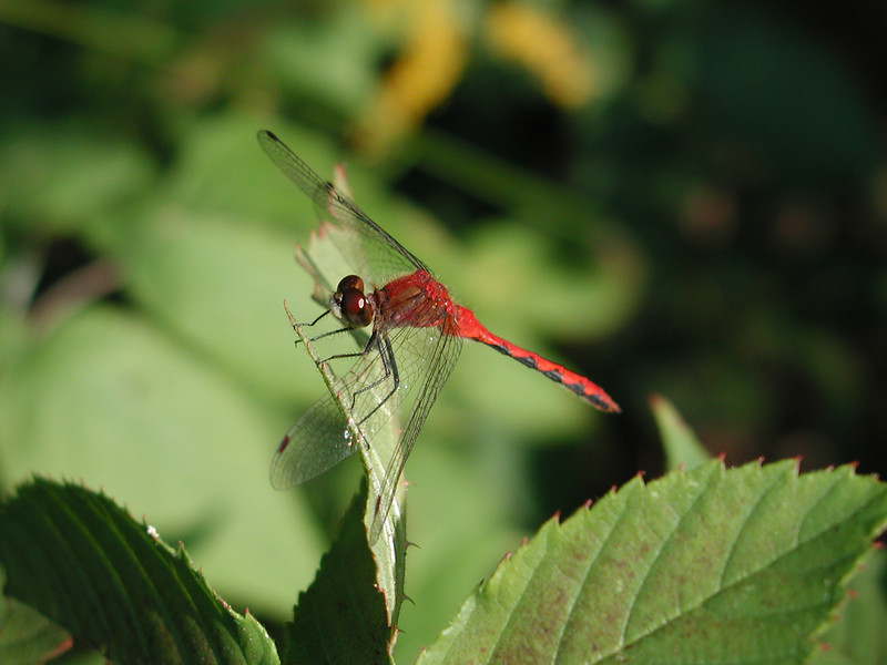 Dragonfly Spotted In Iceland