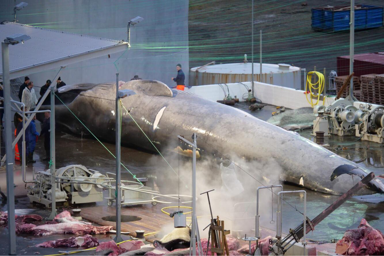 Icelandic Whaling Company Did Not Abide Food Handling Laws