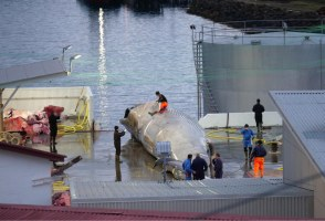 Iceland's Fishing And Environmental Ministers Disagree Over Whaling