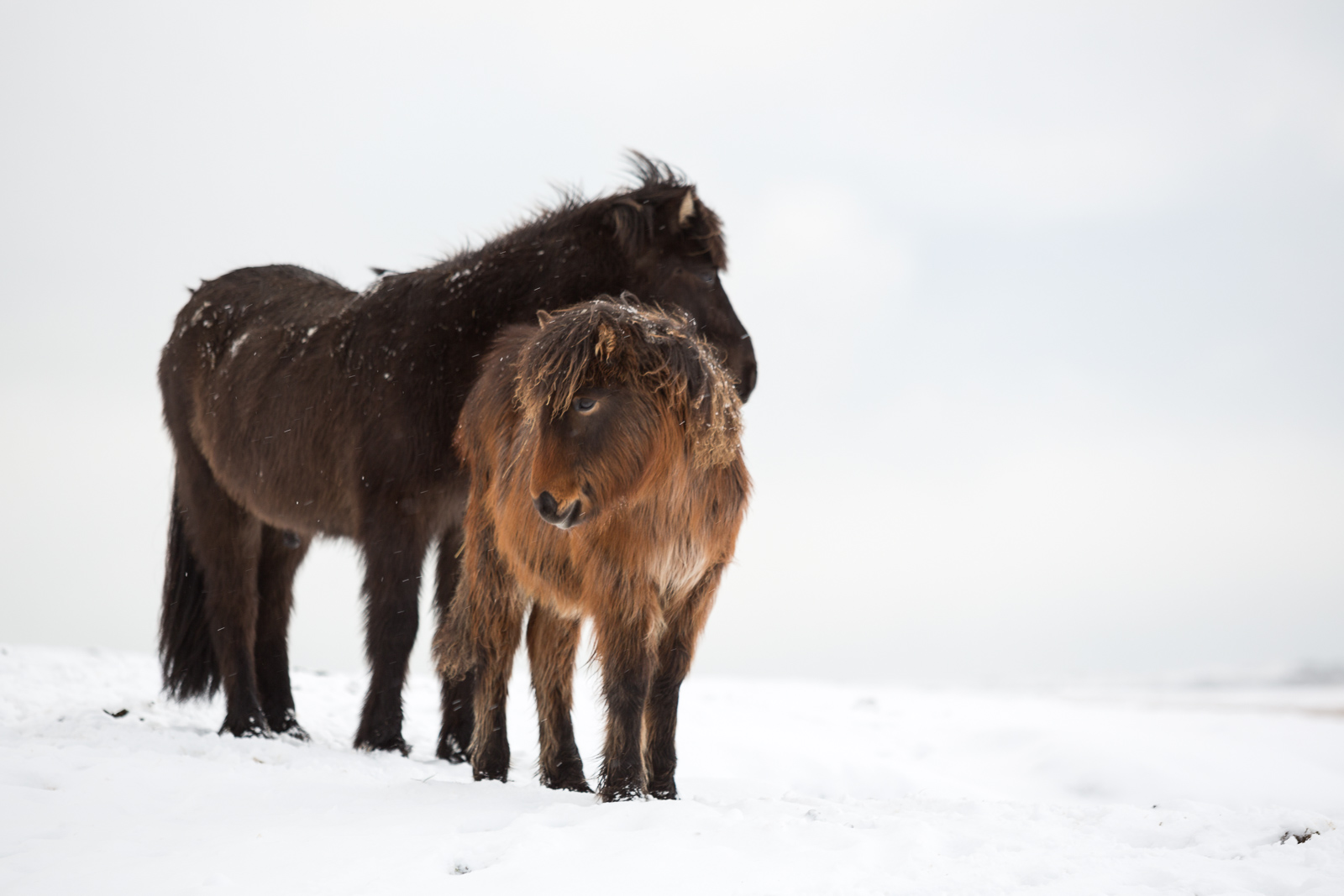 War Of The Nerds: The Icelandic Horse Minefield