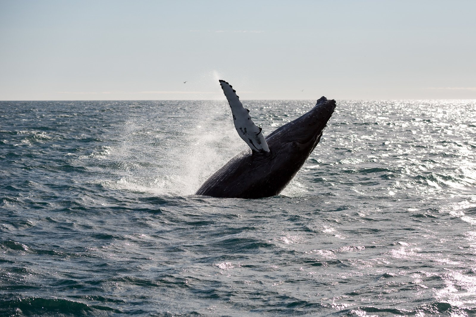 Whale Gets Into Accident With Fishing Boat In Iceland: Is It Revenge?