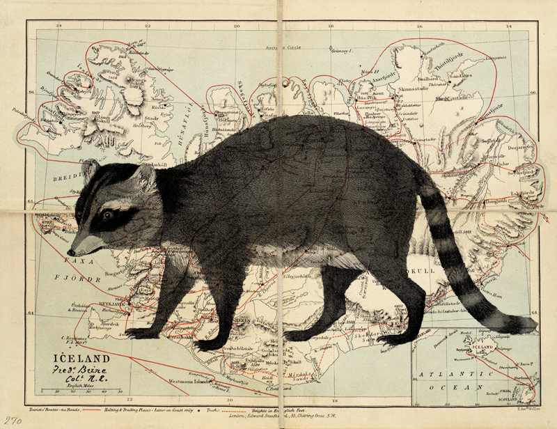 Raccoons In Iceland: A Sad History