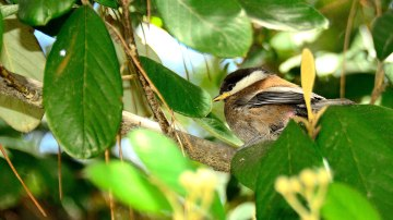 A New World to explore for a baby Chickadee