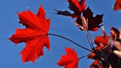 Vivid Maple