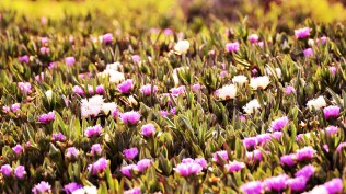 A bed of ice plant