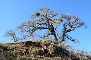 Old Oak, Canada Road near Filoli Gardens, Woodside, CA