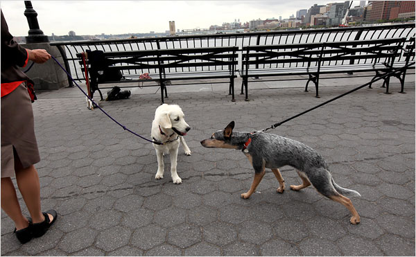 Photo: James Estrin/The New York Times –  Jill Abramson's dog Scout, left, made her first visits to Manhattan at 16 weeks.