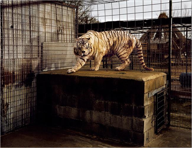 White Tiger (Kenny) by taryn simon