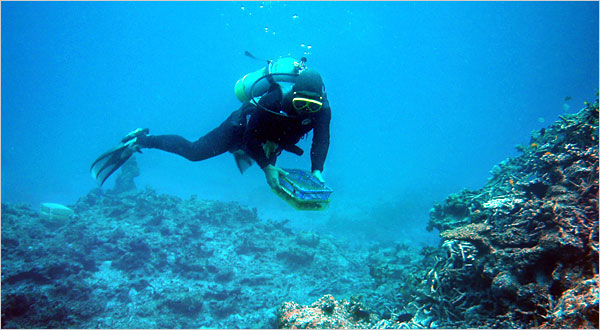 Divers meticulously transplant coral buds in hope to generate new life