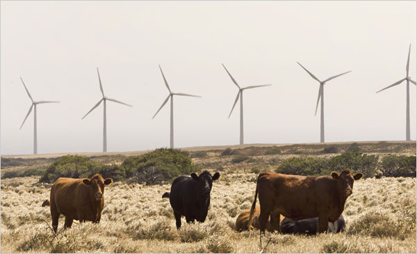 Windmills and Cattle in Hawaii (Marco Garcia for New York Times)