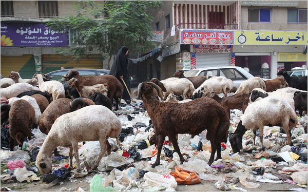 Pigs were the champion garbage consumers in Cairo. Goats just dont seem up to the task.