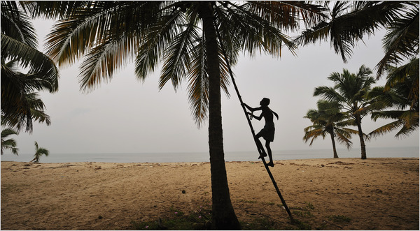coconut tree kerala india climbing beach