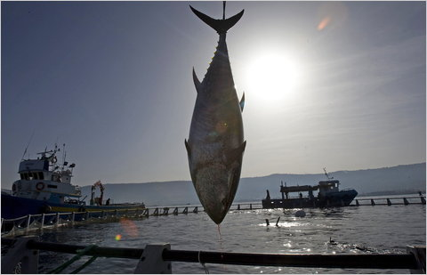 A bluefin tuna is harvested from a tuna farm off the Calabrian coast in Italy
