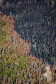 Fire damage amid stands of pines destroyed by beetles in Montana.