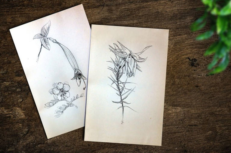 illustration croquis fleurs exotiques perou dessinateur
