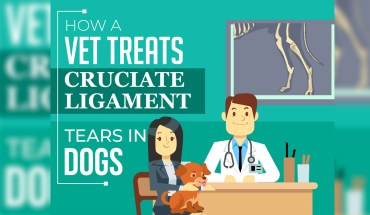 Cruciate Ligament Tears in Dogs: Optional Courses of Treatment - Infographic