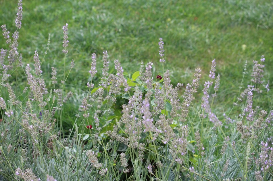 (c) Grashüpfer, Lavendel und Rose