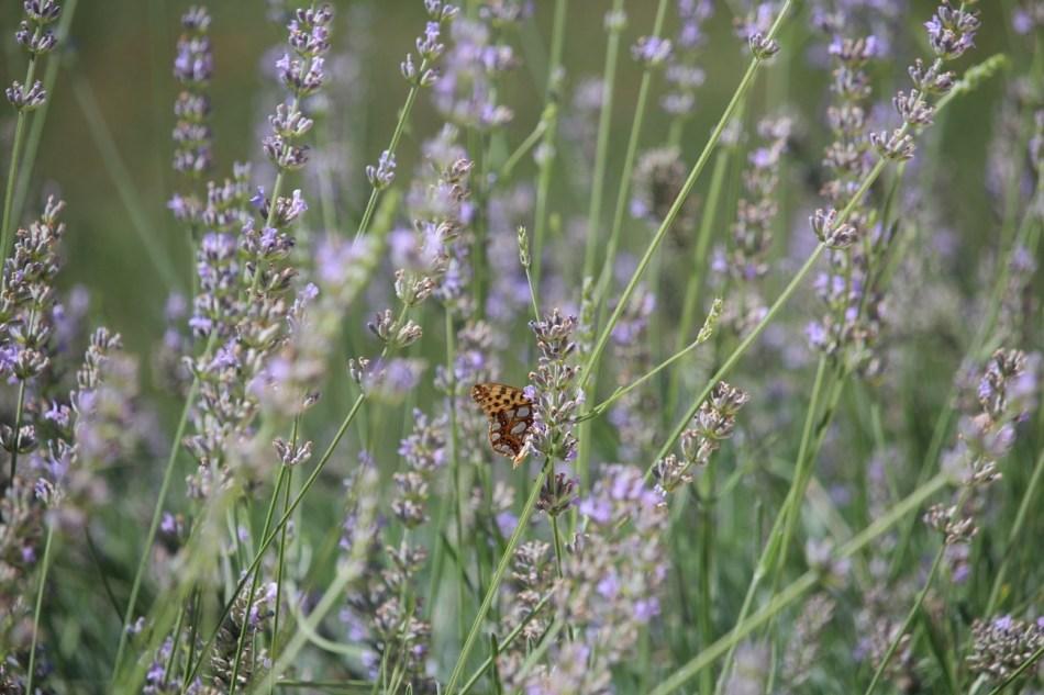 (c) Grashüpfer, Schmetterling auf Lavendel_1
