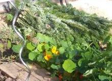 (c) Grashüpfer_Gemüsebeet-die letzte Ernte-Karotten zudecken