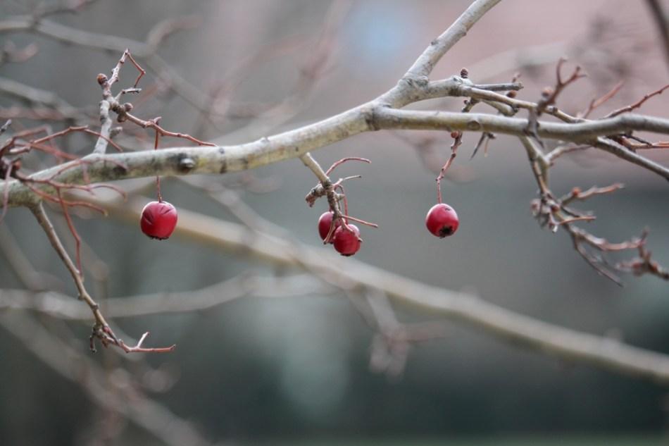 Vogelfreundlicher Garten: früchte des weißdorns