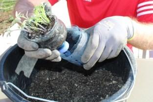 (c) Grashüpfer, Jungpflanzen entnehmen