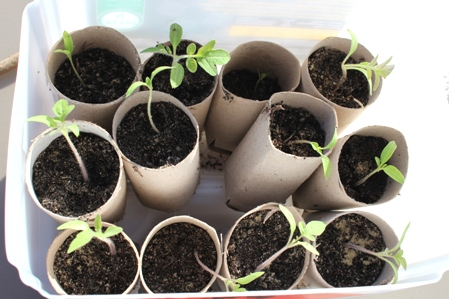 Sämlinge vereinzeln - umgesetzte Jungpflanzen