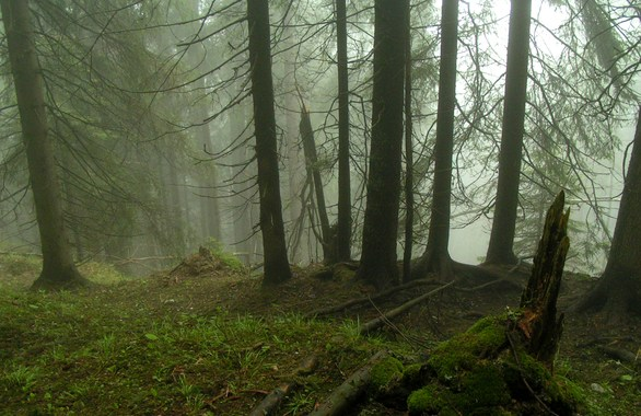 Spooky and foggy woods