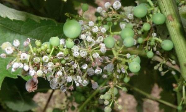 Грибковые заболевания винограда: фото, лечение, методы ...
