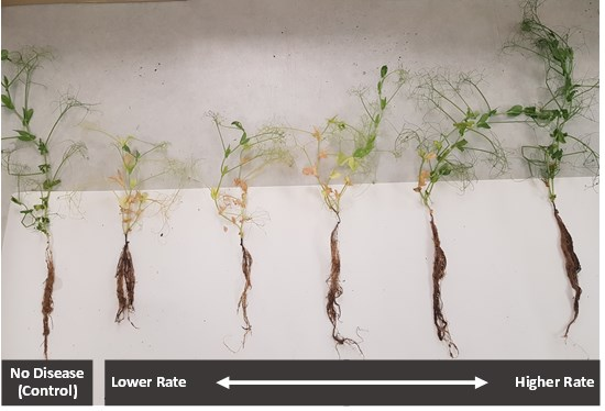 Cannot view this image? Visit: https://i1.wp.com/grassnews.net/wp-content/uploads/2021/05/mustgrow-achieves-control-of-root-rot-disease-aphanomyces-in-greenhouse-trials.jpg?w=696&ssl=1