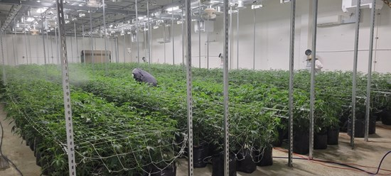 Cannot view this image? Visit: https://i1.wp.com/grassnews.net/wp-content/uploads/2021/09/transcanna-achieves-major-milestone-with-first-harvest-at-daly-facility-1.jpg?w=696&ssl=1