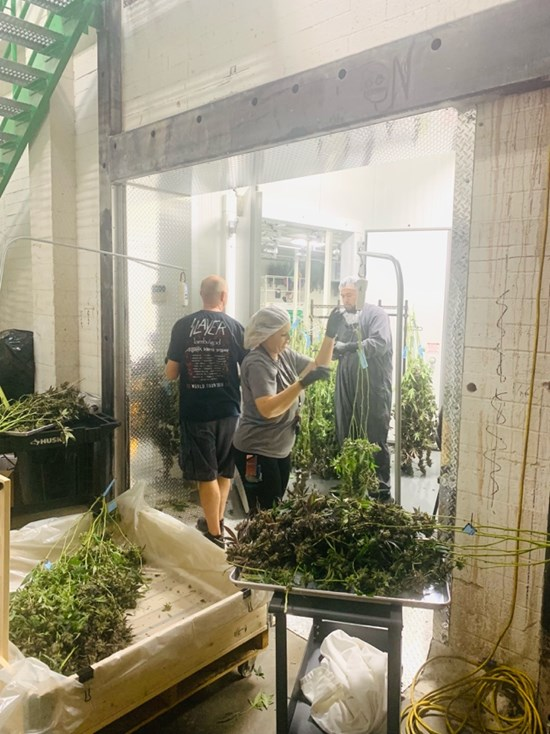 Cannot view this image? Visit: https://i1.wp.com/grassnews.net/wp-content/uploads/2021/09/transcanna-achieves-major-milestone-with-first-harvest-at-daly-facility.jpg?w=696&ssl=1