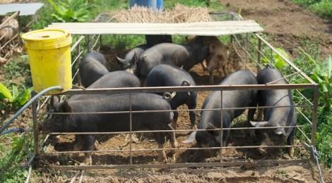 New Pig System!