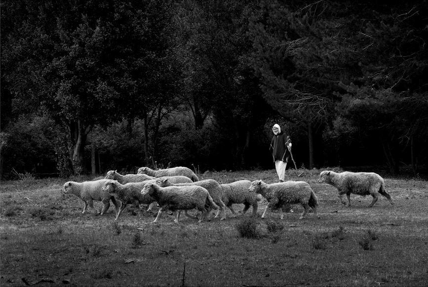 Br. Davd, sheep, Patagonia