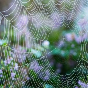 dew on cobweb with green and purple flowers in background