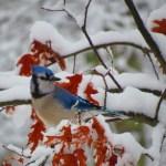 A Winter Blue Jay