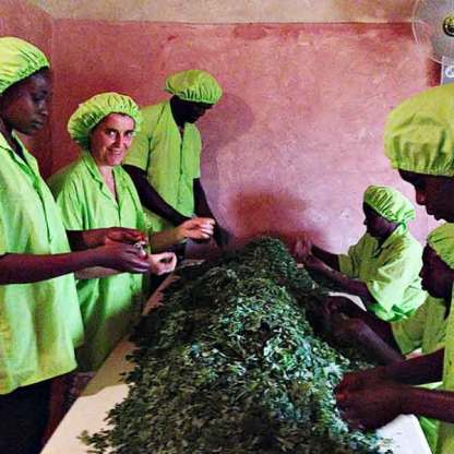 La production du Moringa