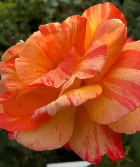 Peach orange rose