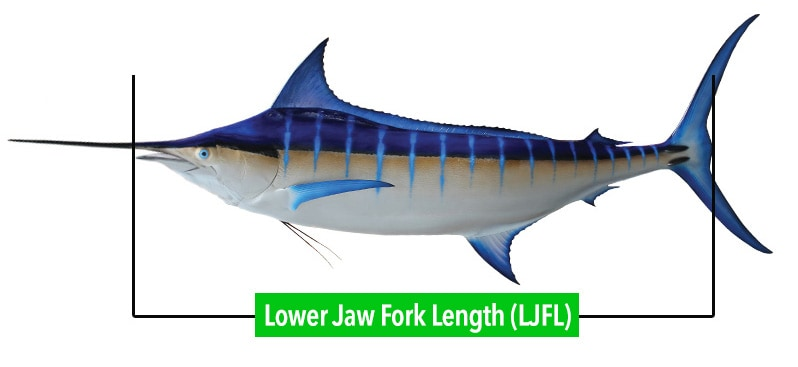 fish-measuring-LJFL-billfish