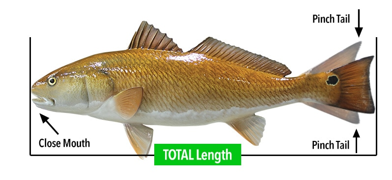 fish-measuring-total-length