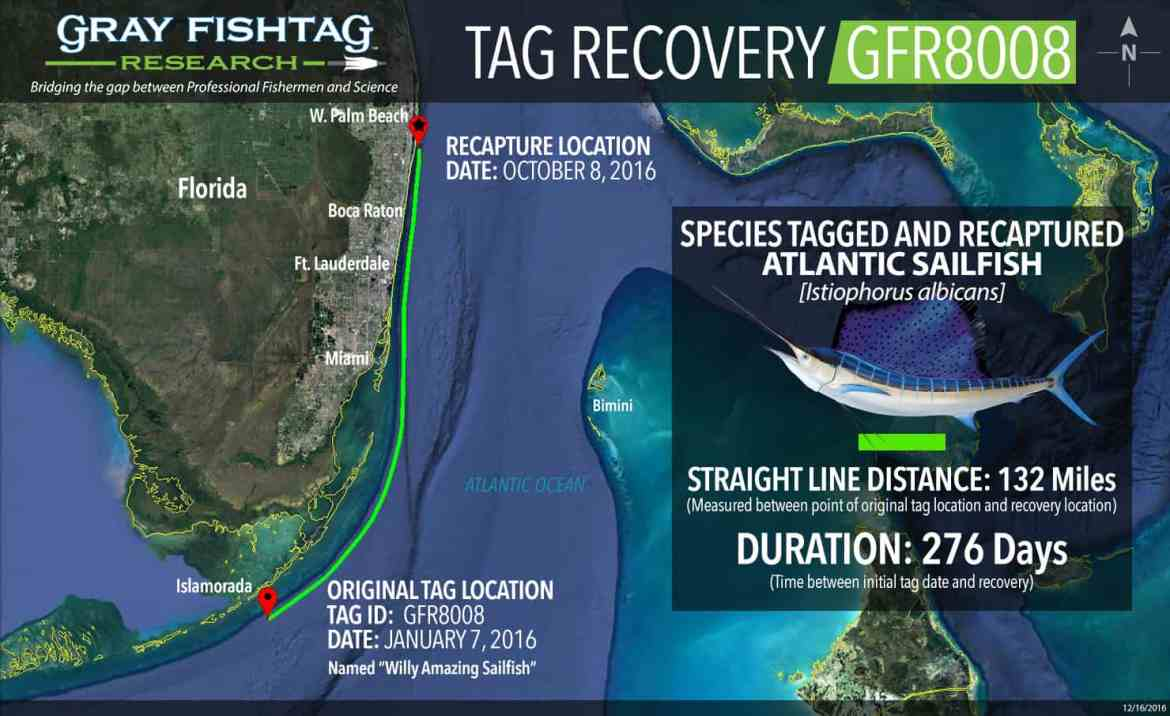 Atlantic Sailfish Recaptured!! GFR8008